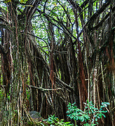 Aerial tree roots in dense tropical forest at Akaka Falls State Park, Big Island, Hawaii, USA. This image was stitched from multiple overlapping images.