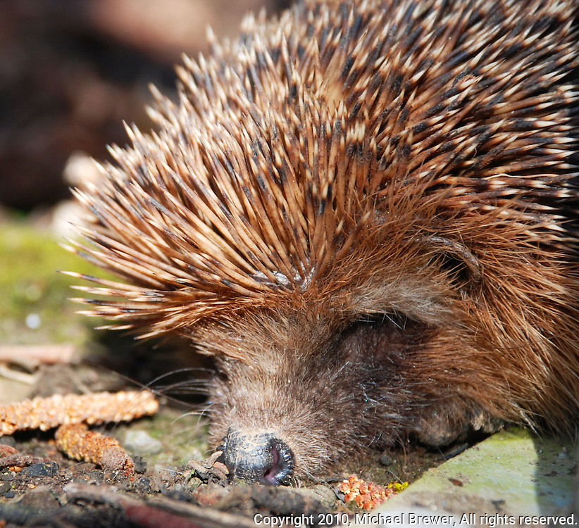 Close-up of a cute, sleeping hedgehog.