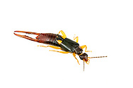 Earwig (Vostox brunneipennis)<br /> United States: Alabama: Tuscaloosa Co.<br /> Tulip Tree Springs off Echola Rd.; Elrod<br /> 16-Jun-2016<br /> J.C. Abbott #2833 &amp; K.K. Abbott