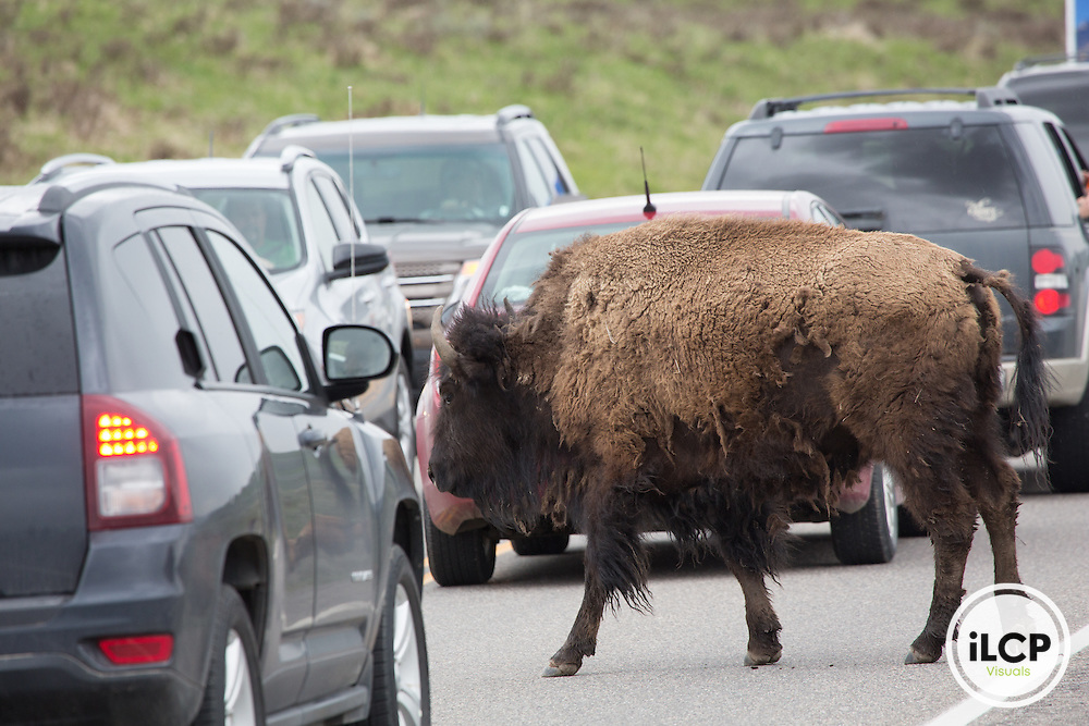 Bison stuck in traffic in Yellowstone NP.