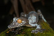 Giant Leaf-tailed Gecko (Uraplatus giganteus) is found in eastern Madagascar and on the islands Nosy Bohara and Nosy Mangabe. These geckos live in tropical rain forests. They reach a total length of 330 mm