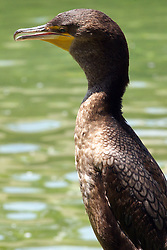 24 July 2005:   The double-crested cormorant is a member of the cormorant family of seabirds. It occurs along inland waterways as well as in coastal areas, and is widely distributed across North America,