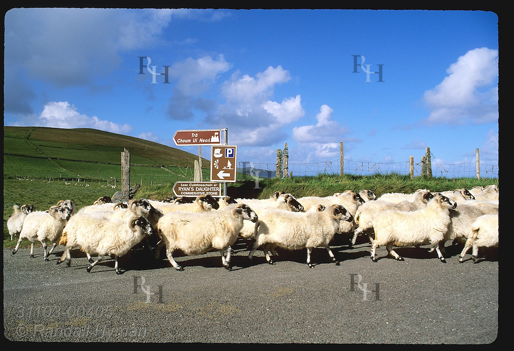 Flock of sheep runs along road at Dunmore Head near tip of the Dingle Peninsula in southwest Ireland.