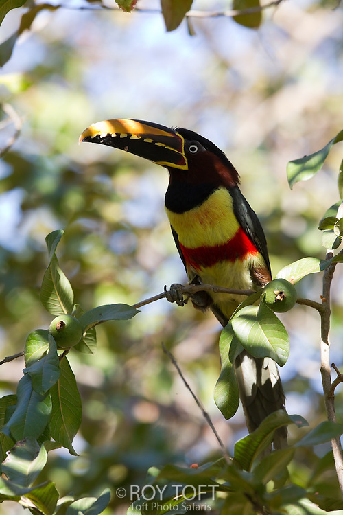Portrait of a Chestnut-eared Aracari perched on a branch, Mato Grosso, Pantanal, Brazil