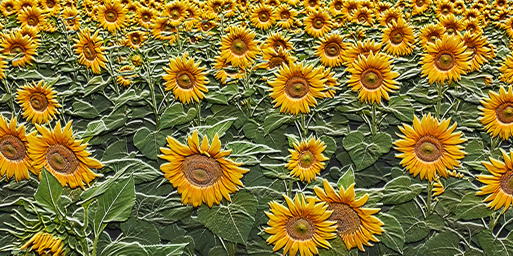 Field of giant sunflowers in bloom