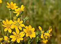 Engelmann's Daisy (Engelmannia peristenia) Llano County, Texas.
