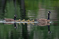 Canada Geese (Branta canadensis) family with 4 goslings swimming in Cheney Lake; Anchorage, Alaska