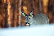 Roe Deer partly covered by the snow | Rådyr delvis dekket av en snøkant.