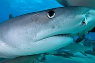Bahamas Sharks