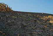 Man coming down from the burned soil hill  in Pachequilla island. Las Perlas Archipelago, Panama province, Panama, Central America.