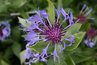 Purple flower Astercaeae Centurea Montana Caerula