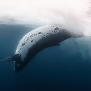 This is a view from underwater of an adult female humpback whale (Megaptera novaeangliae australis) executing a reverse tail slap or penduncle slap. Pictured here, the whale has just slapped the surface of the ocean with the dorsal side of her penduncle and fluke, resulting in the copious whitewater and froth visible in this image. This whale did this repeatedly as part of extended play with her female calf, which was executing tail slaps and breaching.
