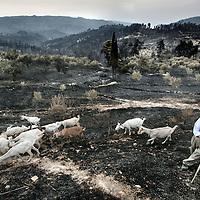 Griekenland.Peloponnesos.28 augustus 2007..Geitenboer in de regio Peleponesos loopt met zijn vee over de verschroeide aarde.