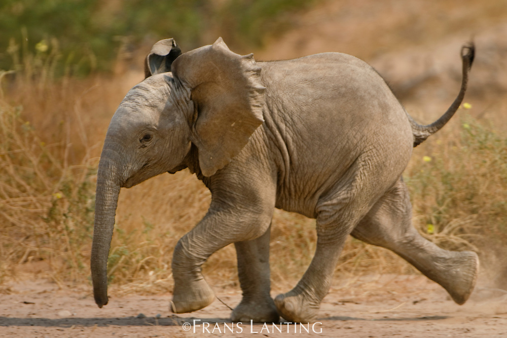 Young desert elephant running, Loxodonta africana, Huab River, Torra Conservancy, Damaraland, Namibia