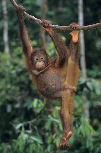 Orangutan, (Pongo pygmaeus) Juvenile hanging from vine in rain forest. Malaysia. Controlled Conditons.