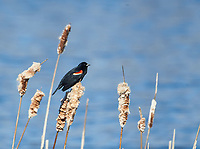 Male Red-winged Blackbird (Agelaius phoeniceus) perched on cattails, Annapolis Royal Marsh, French Basin trail, Annapolis Royal, Nova Scotia, Canada