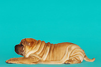 Shar-pei lying down profile