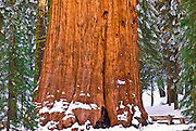 The General Sherman Giant Sequoia (Sequoiadendron giganteum) in winter, Giant Forest, Sequoia National Park, California USA