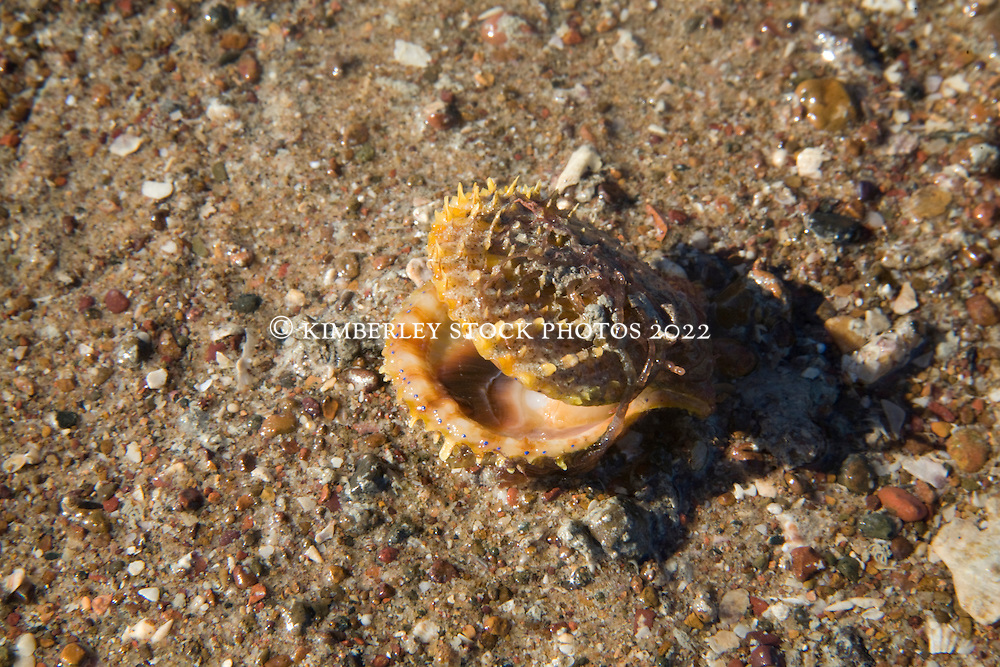 A small live scallop lies exposed on a sanbank in Deception Bay on a low spring tide.