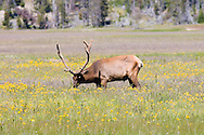 Elk, Yellowstone National Park