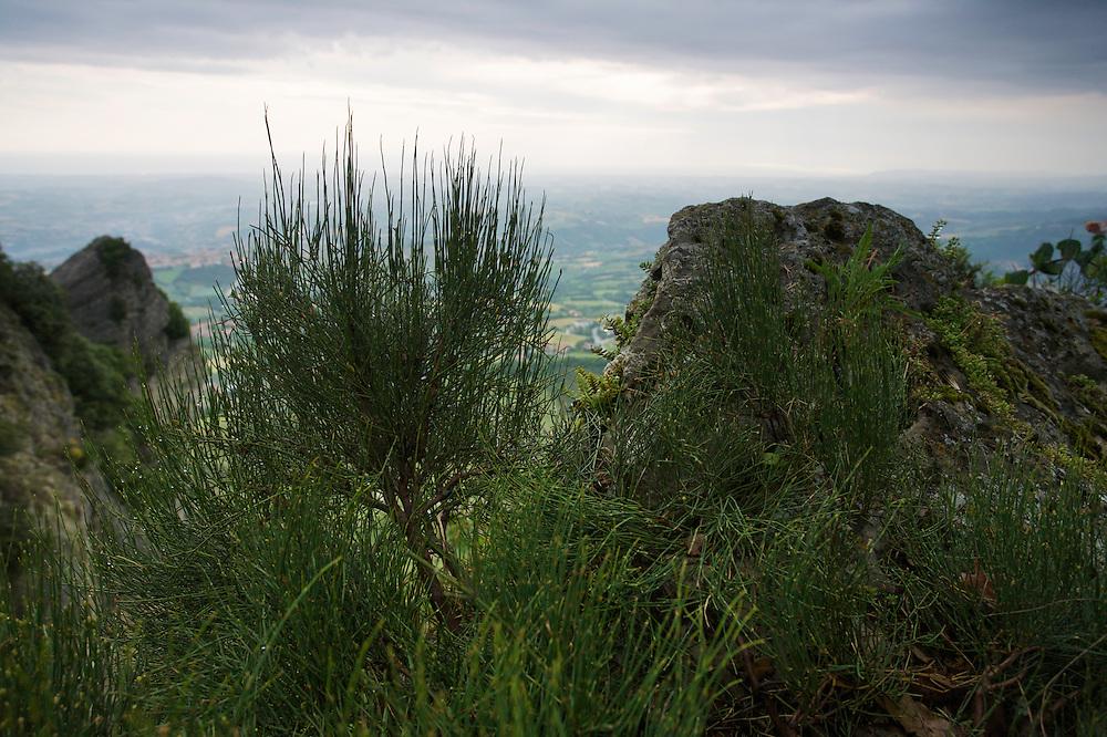 Ephedra (Ephedra major) on the cliff's edge of Monte Titano, San Marino.
