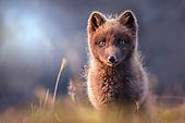 Arctic foxes 2
