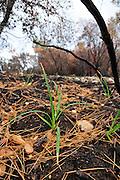 Israel, Carmel forest fire. Vegetation is regenerating after the fire