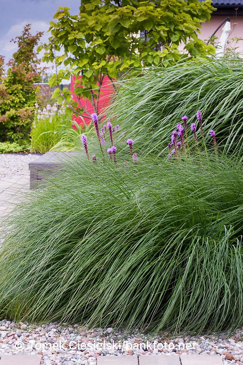 Ornamental grass border planted by miscanthus sinensis, pennisetum alopecuroides. Green surface was broken by summer flowers of liatris spicata