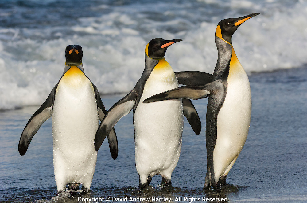 Three King Penguins (Aptenodytes patagonicus) come ashore, Salisbury Plain, South Georgia Island, South Atlantic Ocean
