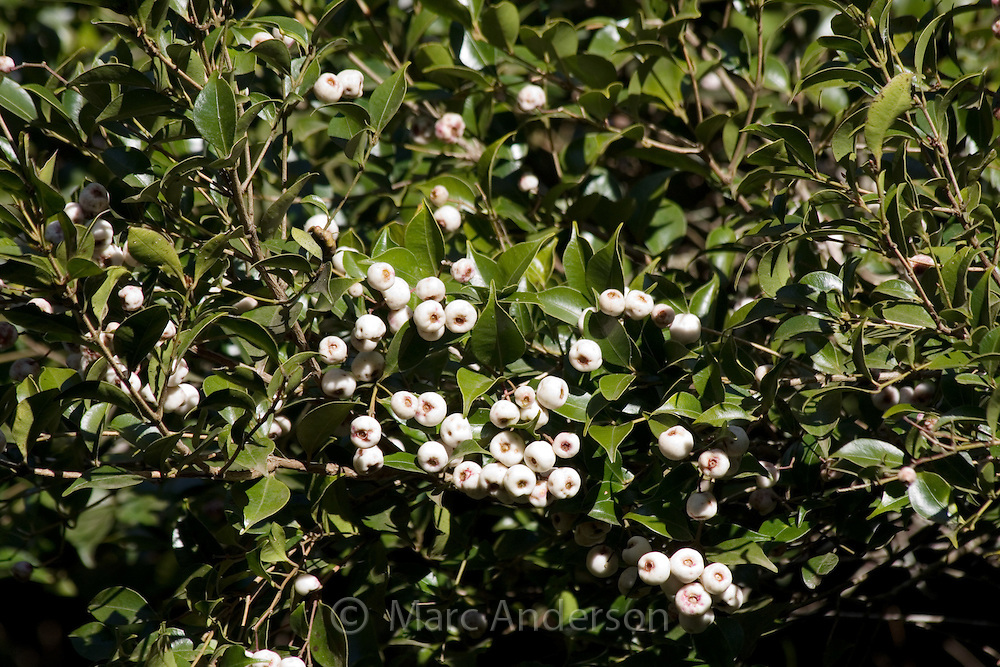 Lilly pilly tree with white berries, NSW, Australia