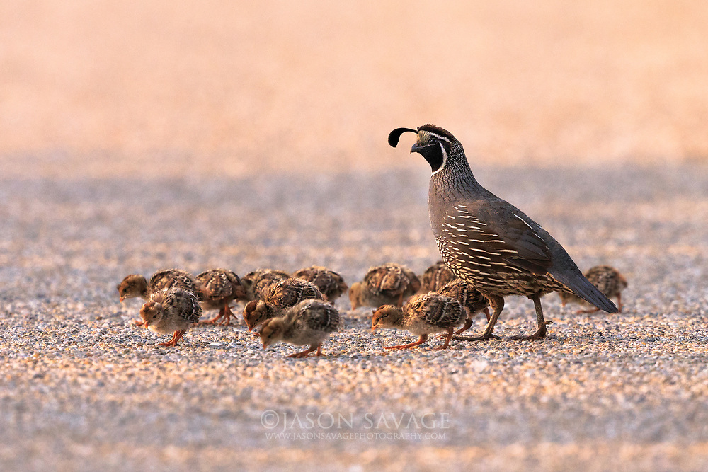 California Quail crossing the road at Lee Metcalf Wildlife Refuge, Montana.