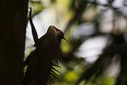 Mountain Horned Dragon (Acanthosaura capra). Bach Ma National Park. Vietnam.