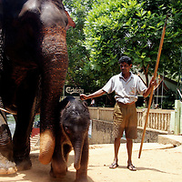 PINNAWELA, OCTOBER-3 : a mahout stands protectively next to the orphanages'  latest newcomer, an 8 day old elephant baby and its mother Mathali in Pinnawala, October 3, 2005, Sri Lanka. PINNAWELA, OCTOBER-3 : an elephant greets a visitor   in Pinnawela, October 3, 2005, Sri Lanka.   .The Pinnawela orphanage was started in 1975 and initially designed to afford care and protection to the many baby elephants found in the jungle without their mothers. In most cases the mother either had died or been killed. .Animals are allowed to roam freely duringthe day and a herd structure allows to form. there are only a few elephant orphanges worldwide. At Pinnawela an attempt was made to simulate, in a limited way, the conditions in the wild. Currently the herd consists of 75 elephants under the surveillance of legendary  Mahout chief Sumanabanda.