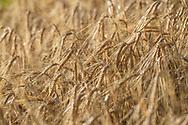 A ripe field of barley (Hordeum vulgare), Parc Ela, Grisons, Switzerland