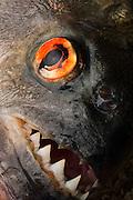 Black Piranha<br /> (Serrasalmus rhombeus)<br /> Rewa River<br /> Rainforest<br /> GUYANA. South America