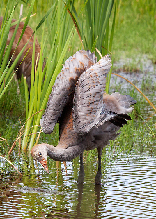 Young Sandhill Crane (grus canadensis)