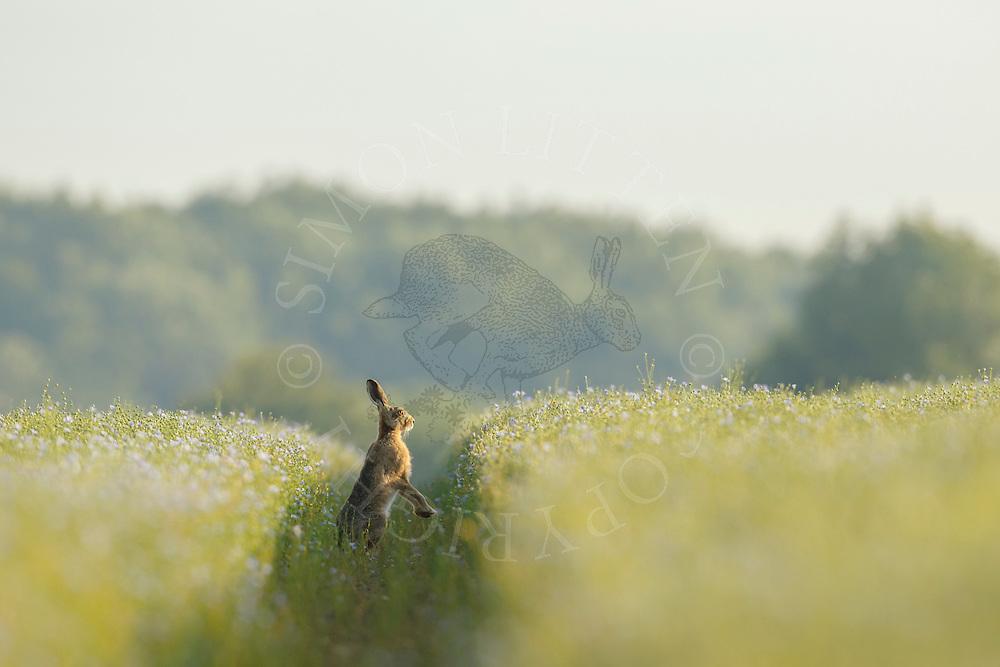 European Hare (Lepus europaeus) adult on hind legs in track through flowering linseed crop, South Norfolk, UK. July.