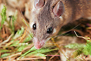 Cairo Spiny Mouse (Acomys cahirinus) Israel