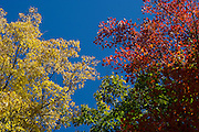 Red, yellow, green trees against blue sky