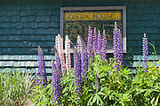 Lupines make a perfect setting for the Opera House in Stonington, Maine