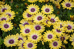 Osteospermum Serenity 'Blue Eyed Beauty'