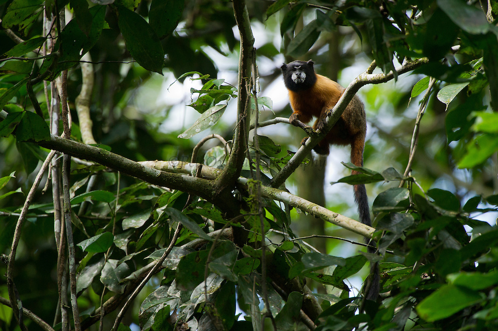 Golden-mantled Tamarin, (Saguinus tripartitus)<br /> Yasuni National Park, Amazon Rainforest<br /> ECUADOR. South America<br /> HABITAT &amp; RANGE: Upper Amazon forest of Yasuni NP, Ecuador.<br /> IUCN CONSERVATION STATUS: Near threatened