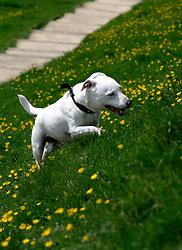 UK ENGLAND NORTH SOMERSET GLASTONBURY 7MAY05 - Mixed-race dog explores the grass and flowers around Glastonbury Tor. <br /> <br /> jre/Photo by Jiri Rezac<br /> <br /> © Jiri Rezac 2005<br /> <br /> Contact: +44 (0) 7050 110 417<br /> Mobile:  +44 (0) 7801 337 683<br /> Office:  +44 (0) 20 8968 9635<br /> <br /> Email:   jiri@jirirezac.com<br /> Web:     www.jirirezac.com<br /> <br /> © All images Jiri Rezac 2005 - All rights reserved.