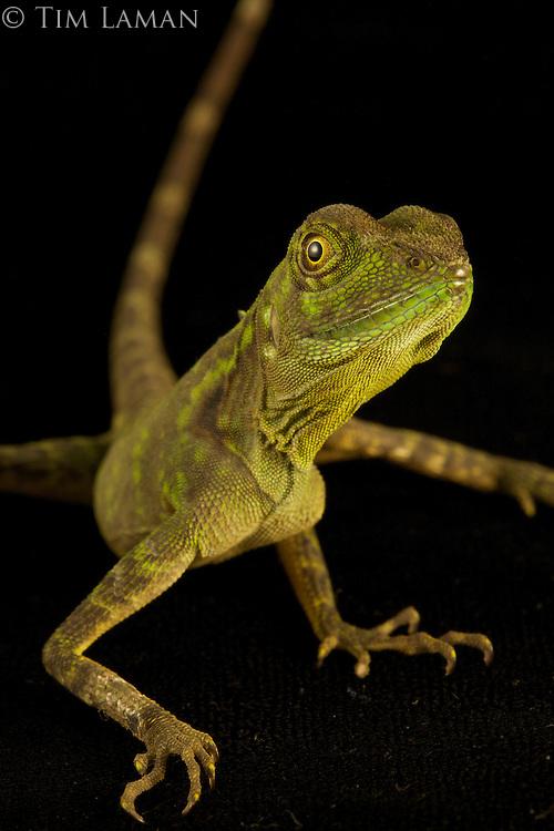 Agamid lizard (Hypsilurus modestus)
