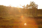 Pine trees growing in marshland. Vaesternorrland, Sweden