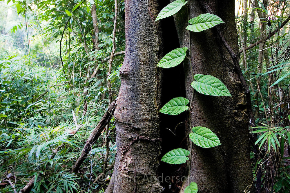A green vine climbing on the trunk of a rainforest tree, Thailand