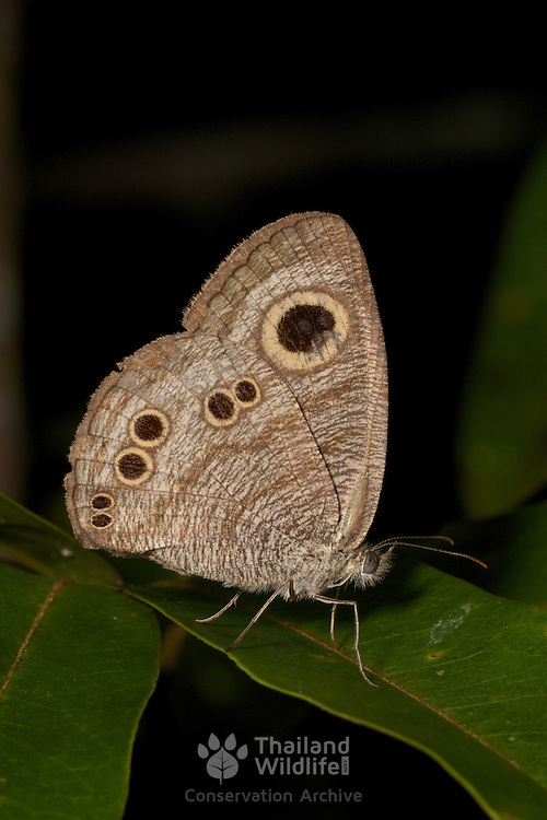 The Common Fivering Ypthima baldus is a species of Satyrinae butterfly found in Asia.