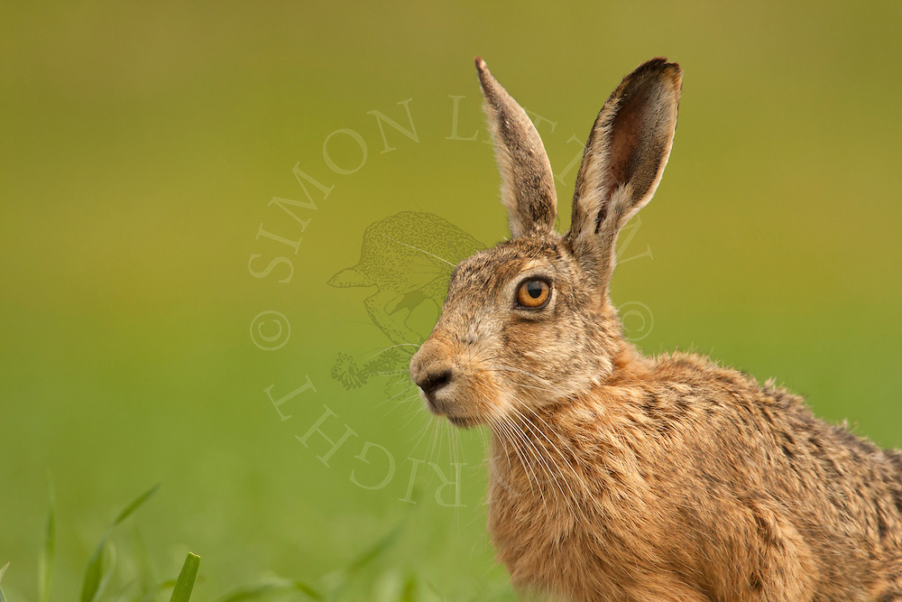 European Hare (Lepus europaeus) adult, alert, close up of head, Norfolk, UK.