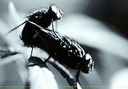 LOVE IS IN THE AIR, 2000. PAREJA DE MOSCAS COPULANDO SOBRE UNA PLANTA DE CAÑAMO. (©Alvaro de la Fuente/TRIPLE.cl)