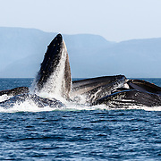 Humpback whales (Megaptera novaeangliae) engaged in bubble net feeding.